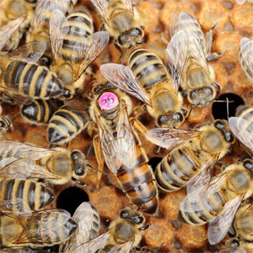 Bienen aus eigener Zucht